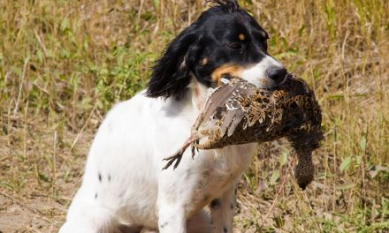 English Pointer Proves Hunt-Worthy After All
